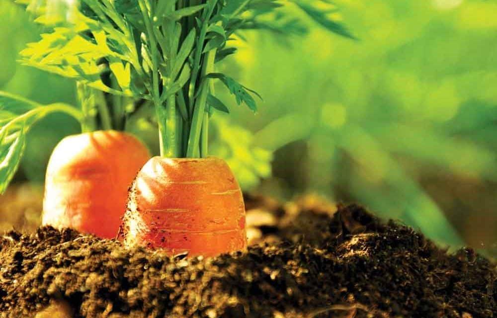 Még aktuális a tárolási és ipari gyökérzöldségfélék fejtrágyázása