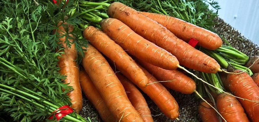 A fólia alatti sárgarépa hajtatás sikerének titka
