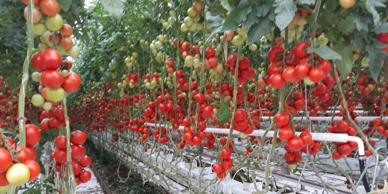 A hajtatott paradicsom termesztéstechnológiájáról