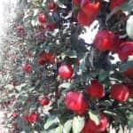 """""""Profiktól Profiknak"""" Gyümölcstermesztési Szaktanácsadási Napok 2020. márciusi programja"""