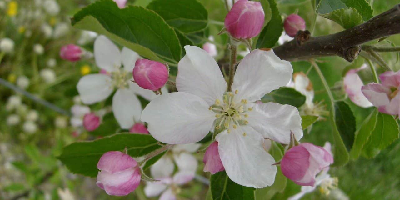 """""""Profiktól Profiknak"""" – Gyümölcstermesztési Szaktanácsadási Napok Az alma növekedés- és termésszabályozása"""