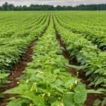 Szükséghelyzeti felhasználási engedély zöldbab kultúrában