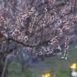 Tavaszi fagyhelyzet – A 2020. március 23. és 26. közötti fagyok kihatásának értékelése