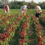 Szükséghelyzeti felhasználási engedély fűszerpaprika kultúrában