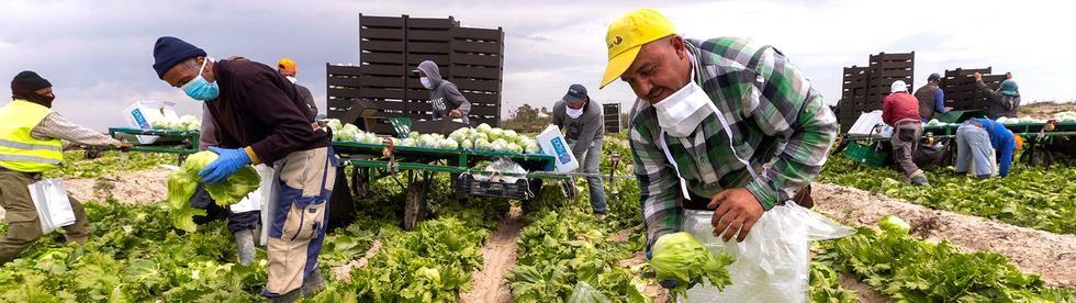 Marokkanische Erntehelfer auf einem Feld bei Murcia   Bildquelle: MARCIAL GUILLEN/EPA-EFE/Shutters