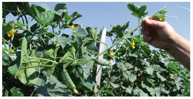 A képen növény, kültéri, zöld, kert látható  Automatikusan generált leírás
