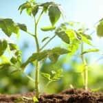 A heves esőzések miatt nem halad az ipari paradicsom palántázása az Ibériai-félszigeten
