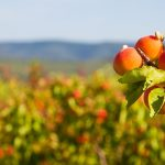 Európai kajsziprognózis: 37 százalékkal kevesebb kajszi várható a fő termesztő országokban