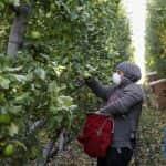 Kínában több almatermelő régióban is komoly gondot okoztak az április végi fagyok