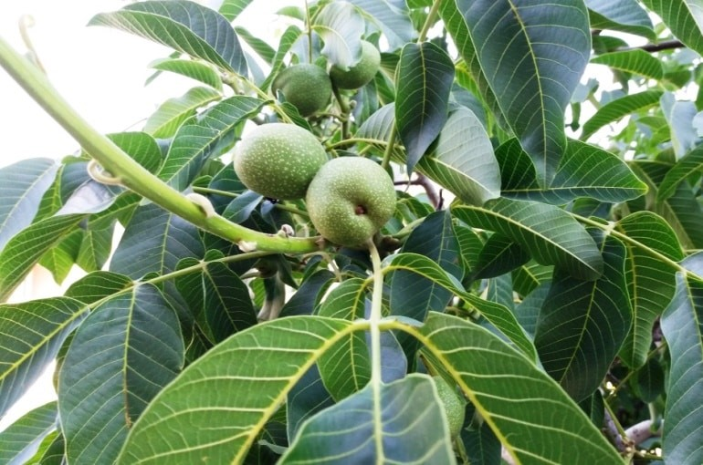 Starting a Walnut Orchard - Wikifarmer