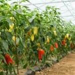 Szükséghelyzeti felhasználási engedélyek hajtatott paprika és paradicsom kultúrákban
