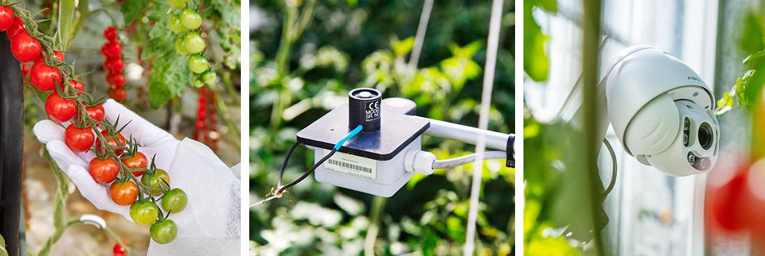 Mesterséges intelligencia az üvegházi paradicsomtermesztésben