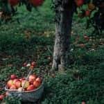 Almák a fa alatt – Lesz magyar gyümölcs, de nem várható érdemi árcsökkenés