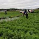 Előrelépés a kiskultúrák növényvédelmének terén – Engedélyokirat kiterjesztést kapott a Bandur gyomirtó készítmény
