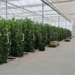 Nászajándékból indult el a modern üllési üvegházgazdaság