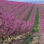 Jó virágzással indul a csonthéjasok szezonja Spanyolország korai termésű régióiban
