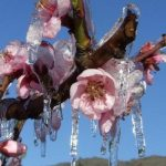 Számottevő fagykárok a spanyolországi gyümölcstermő körzetekben