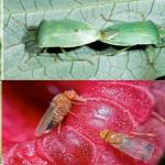 Szükséghelyzeti felhasználási engedélyt kapott a Pyregard rovarölő szer