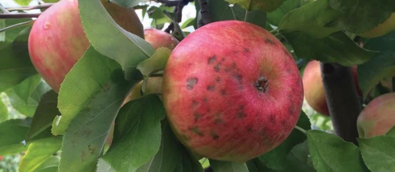 Hatékonyabb kalciumfelvétel almában XT technológiával