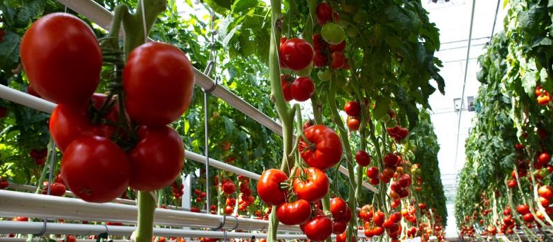 Hazánkban is megjelent a paradicsom barna termés-ráncosodás vírus