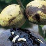 Megoldás dióban almamoly és nyugati dióburok-fúrólégy ellen