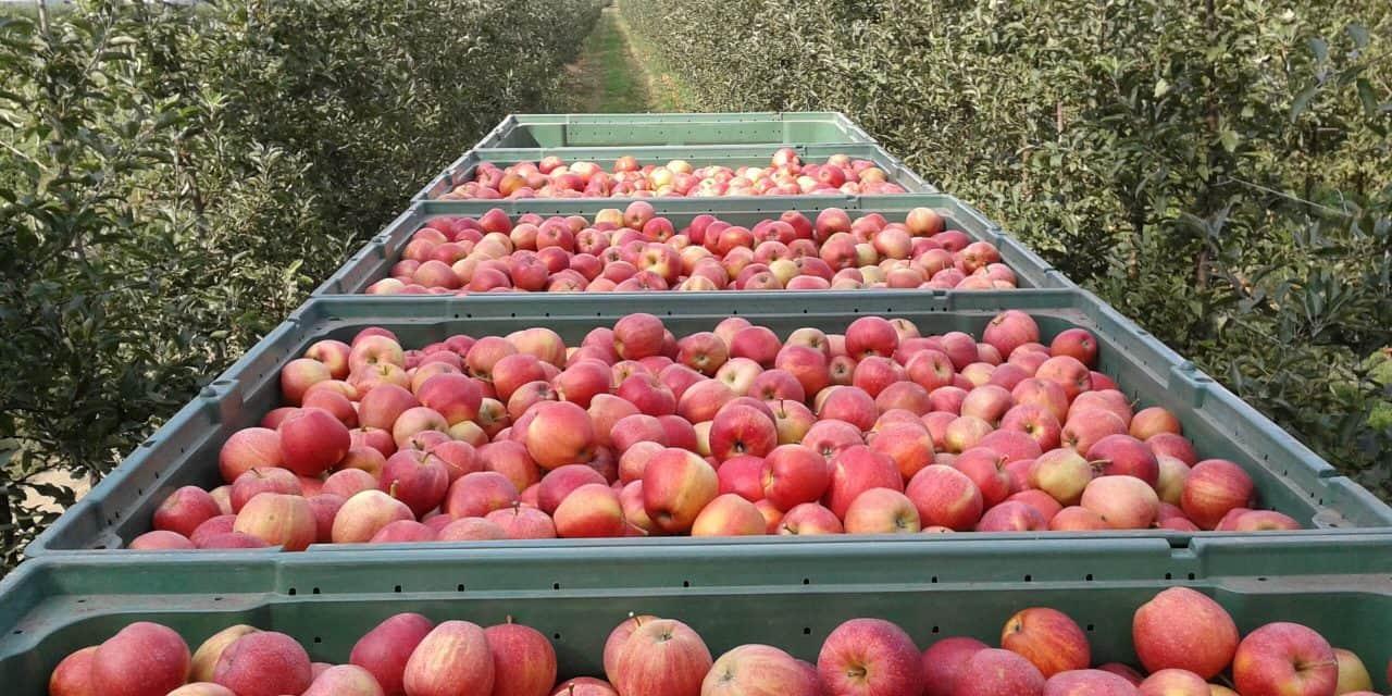 Prognosfruit 2021. – Beszámoló az európai alma és körte termésbecslésről
