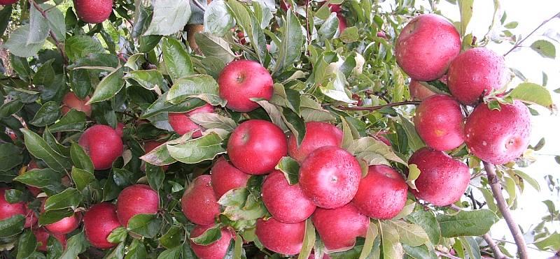 ALMA 2021. ÉVI HAZAI TERMÉSPROGNÓZIS – FruitVeB / ÉKASZ