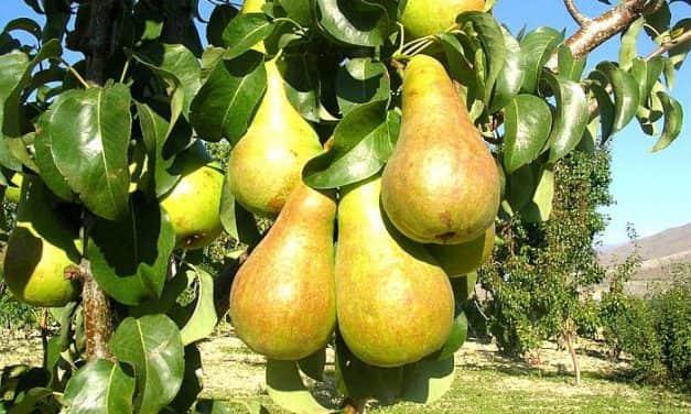 Rekord körteárak mellett sokkal kisebb termést takarítottak be Olaszországban