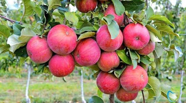 Rekordközeli almatermést várnak Ukrajnában